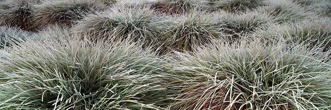 Frosty Grass Plants