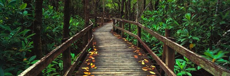 Mangroves, Daintree Rain Forest